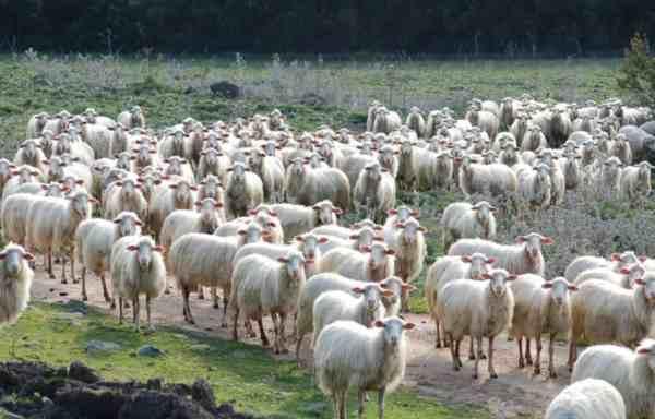 Pecore in Sardegna, Barbagia